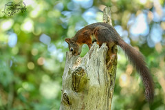 Squirrel (Amanda Blom Photography) Tags: squirrel eekhoorn green bokeh nature natuur naturepicture naturelover naturephotographer naturephoto natuurfoto naturephotography natureptohography naturelove animal animalphotography