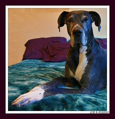 26.52.2018 Always a Beauty (kmmorgan1977) Tags: 52wfd kkzsapachevegasrose dane greatdane 52weeksfordogs 52wfd18 seniordog heartdog 2018