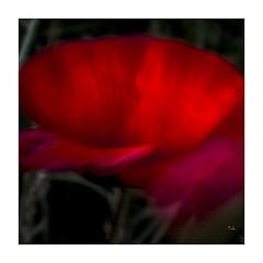 Lt-2018-7237 explore (thierry lathoud) Tags: tala art canon creativeart lathoud fleursetplantes fleur coquelicot rouge icm blur blurism blurisme impressionisme nature