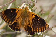 Rare Dark Green Fritillary Aberration (steve_whitmarsh) Tags: aberdeenshire scotland scottishhighlands highlands animal insect nature wildlife macro closeup topic abigfave