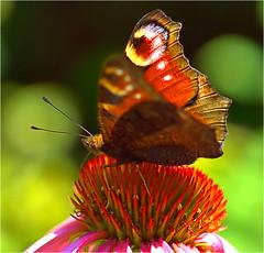 peacock butterfly......... (atsjebosma) Tags: macro butterfly vlinder dagpauwoog peacockbutterfly summer summertime juli july atsjebosma garden tuin thenetherlands nederland groningen 2018 coth5
