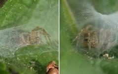 Small spider in its tube-like retreat (Treebeard) Tags: spider web tubelike retreat funnelwebweaver agelenidae sanmarcospass santabarbaracounty california