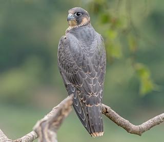 DSC8343  Peregrine Falcon..