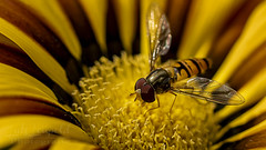 🐝 (Lutz.L) Tags: natur tier insekt wespe biene