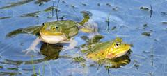 Poelkikkers (Meino NL) Tags: poelkikker wyldemerk oudemirdum friesland kleinegroenekikker pelophylaxlessonae kikker frog