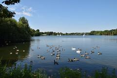 Peaceful (James Mans) Tags: nikon d5500 sigma1750 rickmansworth aquadrome summer swan swans duck ducks lake bury middlesex wildlife 1750mm blue skies tree water sky bird grass sea