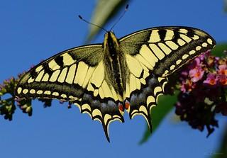 Schwalbenschwanz / swallowtail