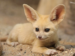 Fennec Artis JN6A9578 (j.a.kok) Tags: vos fox fennek fennec woestijnvos dessertfox artis animal afrika africa mammal zoogdier dier predator