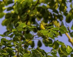 20180708-0I7A7699 (siddharthx) Tags: 7dmkii bird birdwatching birding birdsinthewild bishanangmokiopark canon canon7dmkii ef100400f4556isii ef100400mmf4556lisiiusm nature singapore singaporeparks trek urbanbirds urbangreens sg sunbird olivebackedsunbird yellowbelliedsunbird