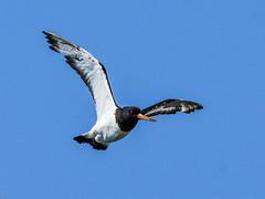 Oystercatcher Hodbarrow RSPB F00284 D210bob DSC_3251 (D210bob) Tags: oystercatcher hodbarrowrspbf00284 d210bob dsc3251 nikond7200 birdphotography birdphotos naturephotography naturephotos nikon nikon200500f56 wildlifephotography