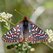 Edith's Checkerspot (Euphydryas editha) (kaeagles) Tags: bugs butterfly checkerspot dogvalley sierracounty sierranevada california
