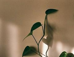Amour!💚 (Elahe Jalali) Tags: pentax pentaxk1000 analog filmphotography filmisnotdead film 35mm leaf feuille amour love amazing shadow light art nofilter plant flickr