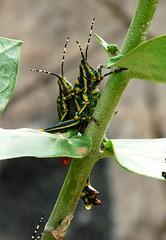 Painted Grasshopper - coupling - my backyard (forest venkat) Tags: painted grasshopper coupling backyard paintedgrasshopper mybackyard india bird tree plant macro