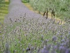 zetevsivke_16 (carlo) Tags: panasonic g9 dmcg9 slovenija slovenia brda goriškabrda colliosloveno lavanda sivka lavender lavendel