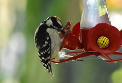 How do Hummers do this ?!?! (janagoss32) Tags: male nectar summer july2018 woodpecker downy hummingbirdfeeder