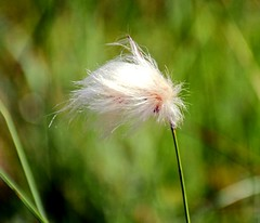 Blowing in the Wind (barbara_donders) Tags: natuur nature summer zomer fluffy inthefield inhetveld wit white macro bokeh waaien magical beautiful mooi prachtig
