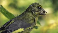 Greenfinch appetizer (Renate Bomm) Tags: 2017 canoneos6d ef100mmf28lusm fauna projekt365 renatebomm tiere vogel vogelhäuschen inflickr fink grünfink chlorischloris finchadaverde grünling stieglitzartig 7dwf bird pájaro