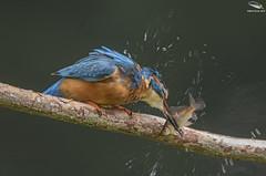 Kingfisher Stunning it's Prey (Mick Erwin) Tags: kingfisher stunning stun fish prey