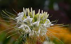 Blume4 (lotharmeyer) Tags: blume nature yellow lotharmeyer nikon natur makro flowers flower colors bokeh sonnenblume hell blüte