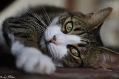 Sweet Eyes (Luca Bobbiesi) Tags: cat gatto neko eyes tired canoneos5dmarkiv canonef24105mmf4lisusm