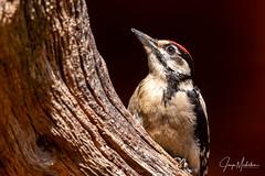 Great spotted woodpecker (Jaap Mechielsen) Tags: bird boshutgarderen grotebontespecht wildlife fauna animal buntspecht dendrocoposmajor dier greatspottedwoodpecker vogel garderen gelderland nederland nl