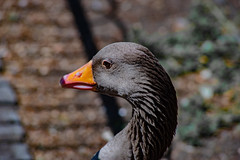 Beautiful Face (ckaserer) Tags: london animals animal bird birds duck james geese ducks goose water park pigeon pigeons closeup macro nature sony alpha