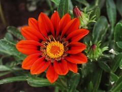 Orange gazania (johncudw2399) Tags: gazania flower unionville ct summer orange red