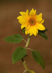 Sunflower (Treflyn) Tags: sunflower sun flower back garden parched grass lawn earley reading berkshire uk