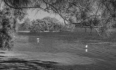 Little Egrets (OzzRod) Tags: pentax k1 smcpentaxdfa50mmf28macro landscape estuary lake birds egrets sheoak mangrove seagrass monochrome blackandwhite dailyinjuly2018 swansea lakemacquarie