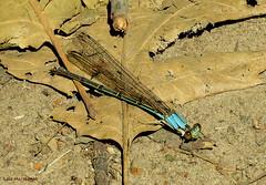 Blue-fronted Dancer Damselfly female (Lois McNaught) Tags: bluefronteddancerfemale damselfly insect nature wildlife hamilton ontario canada