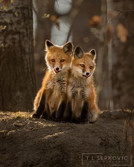Double Trouble (T L Sepkovic) Tags: fox foxkits twofoxes tonguesout sweet cute vulpesvulpes canid wildlife wildlifephotography wildlifeencounters encounters woods evening canon 5dmkiv teamcanon cutestanimals doubletrouble