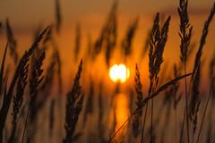 The grass (Marat Assanov) Tags: kyiv sunrise sun summer grass bokeh
