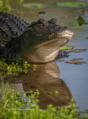 Gator Head Reflection (tclaud2002) Tags: gator alligator lizard reptile animal wildlife nature mothernature outdoors water pond reflect reflection head whitecitypark fortpierce florida usa