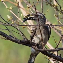 African Grey Hornbill (Photoski141) Tags: africangreyhornbill botswana chobe hornbill muchenje