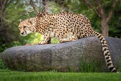 Not Sharing My Breakfast! (helenehoffman) Tags: africa cheetah acinonyxjubatus bigcat feline conservationstatusvulnerable felidae sandiegozoosafaripark nature sandiegozoo wildlifed cheetahbreedingcenter safaripark carnivore mammal animal