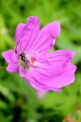 Blutstorchenschnabel Wildbiene (tama*) Tags: wildnisgarten wildbienen wildpflanzen