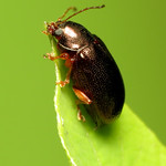 Metallic Leaf Beetle thumbnail