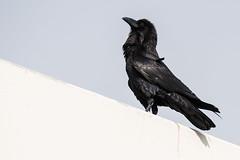 Proud Raven (mjeedelbr) Tags: proud raven