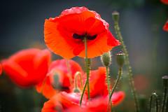 Poppy flowers (Marat Assanov) Tags: poppy flowers ukraine summer nature
