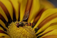 Mini Wespe (Lutz.L) Tags: natur tier insekt biene wespe