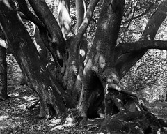 Ancient Beech in light and shadow (Hyons Wood) (Jonathan Carr) Tags: ancient woodlan trees leaves black white bw monochrome largeformat 4x5 5x4 landscape rural northeast