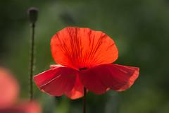 klaproos - poppy - mohnblume - coquelicot (de_frakke) Tags: bloem rood papaver poppy mohnblume amapola natuur red nature
