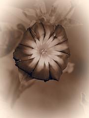 Winde (1elf12) Tags: sepia flower winde blossom blüte braunschweig germany deutschland