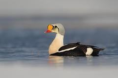 King Eider (Daniel Behm Photography) Tags: kingeider king eider duck watewrfowl fowl arctic arcticlight barrow ak alaska barrowalaska ond water color danielbehm behm studebakertours nature