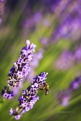 PROVENCE_2370_0618@ANDREAFEDERICIPHOTO (Andrea Federici) Tags: provenza provence lavanda valevole fioritura luglio lavander flower