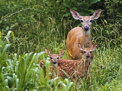 Double Trouble (Tiara Rae Photography) Tags: fawns fawn baby animals doe deer whitetail whitetails wildlife nebraska omaha urban nature spots cute