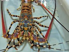 Lobster (markb120) Tags: sea crustacean shellfish lobster antenae legs eye