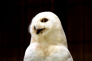 Male Snowy Owl (Bubo scandiacus) of Ueno Zoo : シロフクロウ♂(上野動物園)