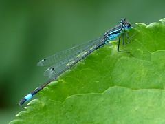 Ischnura elegans - Blue tailed Damselfly (David in Chippenham) Tags: ischnuraelegans bluetaileddamselfly damselfly uk england dld august 2013 glos