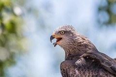 😝 (Rudolf Photography) Tags: canon canon100400 photography photographer animal animals wildlife wildlifephotography nature naturephotograpy pic picture picoftheday photooftheday contrast contrasts bw eagle bird birds tongue eagles colors colorful kite milano